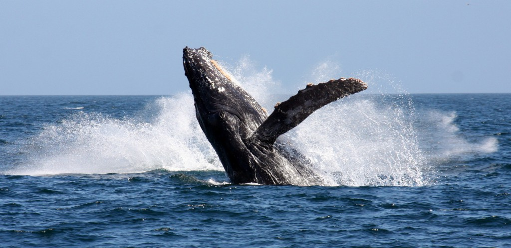 a-humpback-whale-breaching-in-false-bay